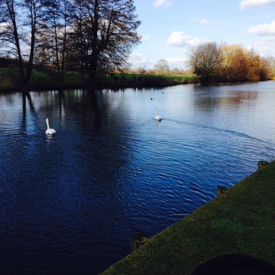 Silent Sunday Swans
