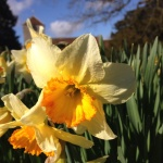 Beautiful daffs