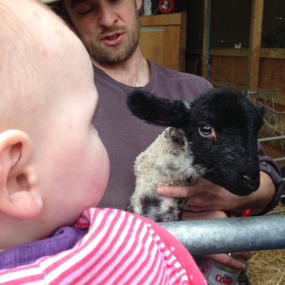 Meeting lambs