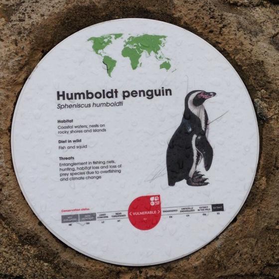 Humboldt penguins facts