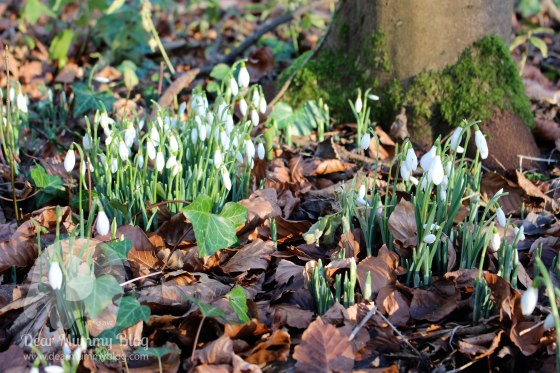 my-sunday-photo-snowdrops