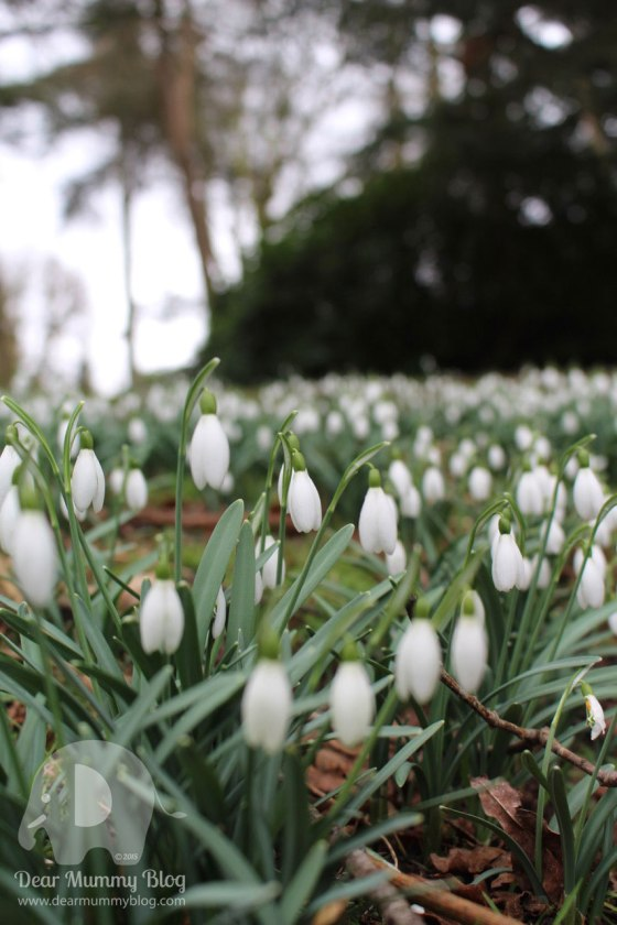 Silent-Sunday Snowdrops