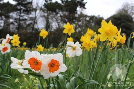 Daffodils at Exbury Gardens