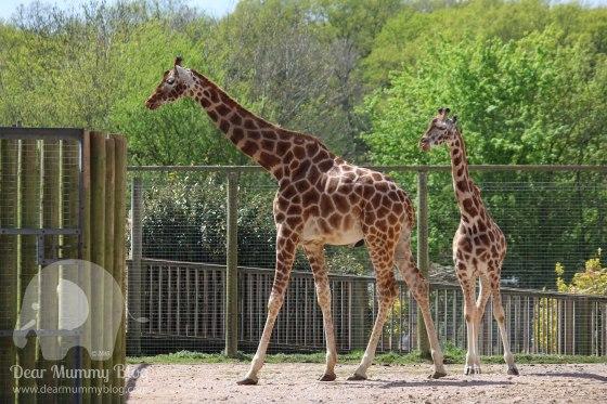 Giraffes-2