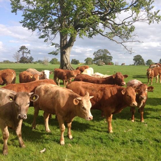 Silent Sunday cows
