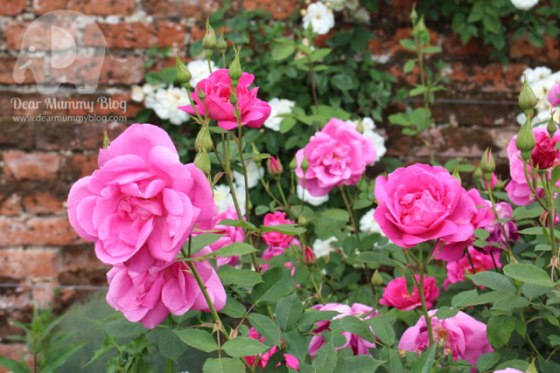 Mottisfont Rose