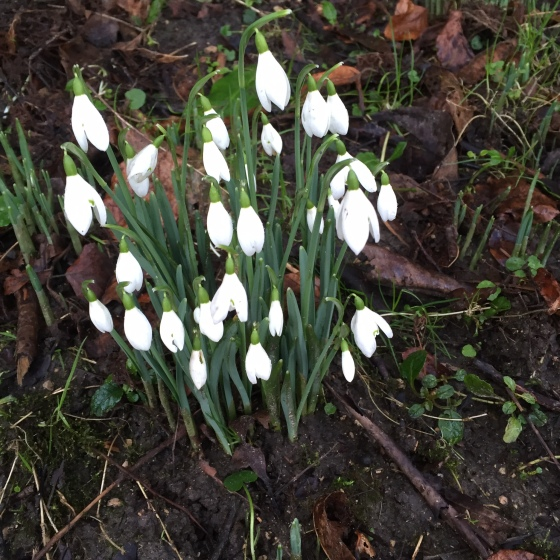Snowdrops at Stourhead