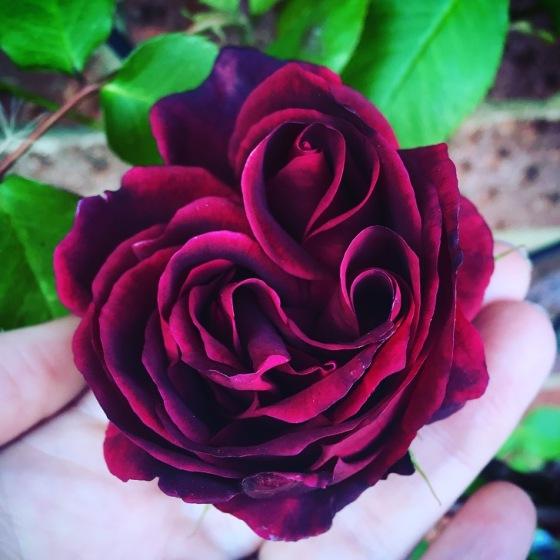 3 bud rose