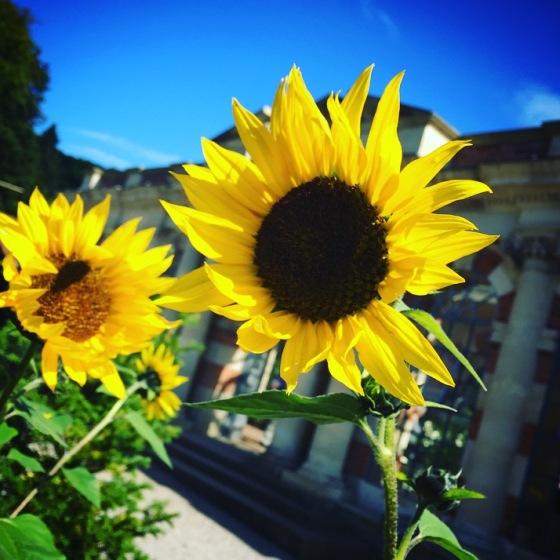 Sunflowers at Tyntesfield