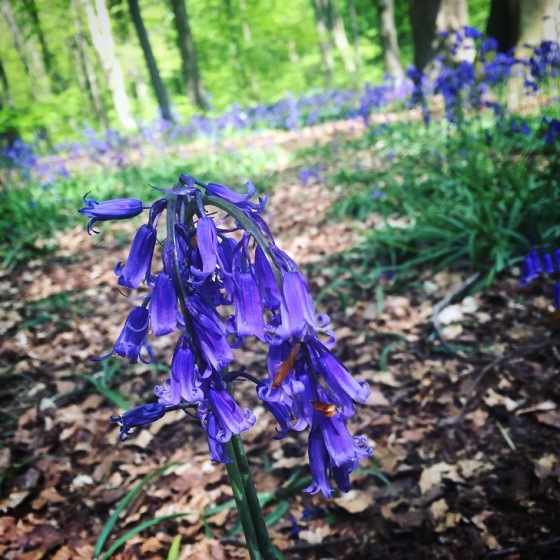 Bluebell wood in Hampshire