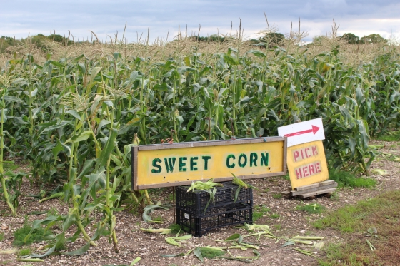 Sweetcorn at Pickwell Farm