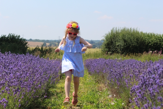 Lavender Fields In Hampshire